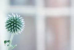 Echinops flower toned Royalty Free Stock Image