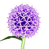 Echinops Royalty Free Stock Photo