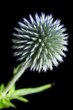 Echinops Globe Thistle Royalty Free Stock Photo