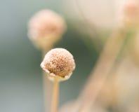 Echinops grijisii Hance /dry kwiaty Zdjęcie Royalty Free