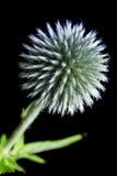 Echinops-Kugel-Distel Lizenzfreies Stockfoto