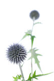 Echinops-Kugel-Distel Stockfotografie