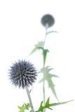 Echinops kuli ziemskiej oset Fotografia Stock