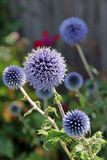 Echinops lub kuli ziemskiej osetu roślina Obrazy Stock