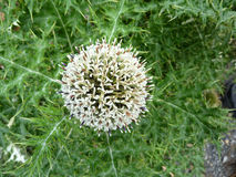 Echinops niveus, Snow-white Globe thistle. Perennial herb with densely cottony spiny leaves and globose white flower heads royalty free stock photo
