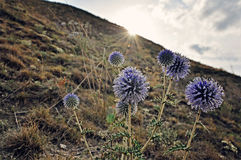 Echinops no por do sol Imagem de Stock Royalty Free