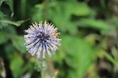 Echinops oset Fotografia Royalty Free