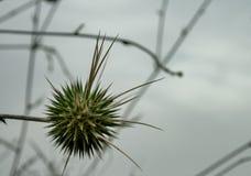 Echinops philistaeus z chmurnym niebem w tle fotografia royalty free