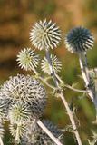 Echinops plants close up horizontal Stock Photo