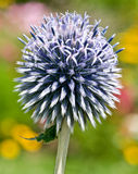 Small globe thistle  Royalty Free Stock Images