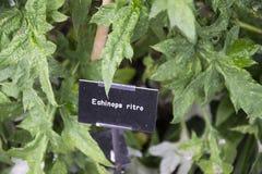 Echinops Ritro Foto de archivo libre de regalías