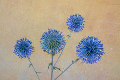 Echinops Ritro. Beautiful plant looking like a painting from famous artist with paints Royalty Free Stock Photos