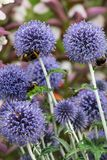 Echinops ritro. In full flower close_up stock images