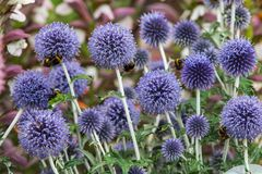 Echinops ritro. In full flower close_up royalty free stock photography