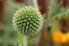 Echinops ritro. Is a hardy perennial and a non demanding plant for the border. This robust, upright herbaceous perennial has jaggedy-divided, prickly dark green stock photography