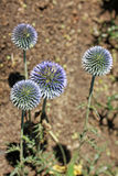 Echinops ritro, or small globe thistle, is incredibly ornamental Stock Images