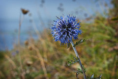 Echinops sphaerocephalus  bloom along waterways. Royalty Free Stock Photos