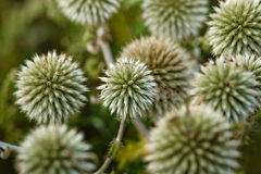 Echinops sphaerocephalus Royalty Free Stock Photography