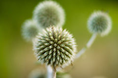 Echinops sphaerocephalus Royalty Free Stock Photos