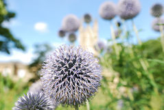 Echinops the Thistle. Thistles (Echinops) growing wild against the skyline Stock Photography