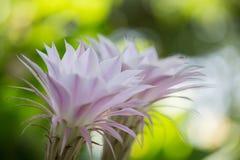 Echinopsis花 免版税库存照片