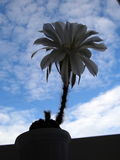 Echinopsis 免版税库存照片
