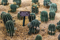 Echinopsis Cactaceae Royalty Free Stock Images