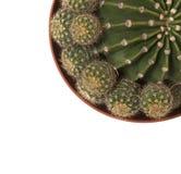 Echinopsis cactus Royalty Free Stock Photos