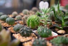 Echinopsis calochlora kaktus przy ogródem zdjęcie royalty free