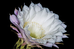Echinopsis eyriesii with flower Stock Photo
