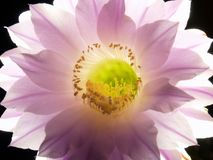 One Night Bloom of the Echinopsis Eyriesil Cactus Royalty Free Stock Images