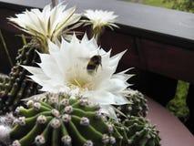 Echinopsis floreciente con una abeja Fotos de archivo