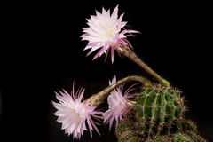 Echinopsis with flowers Royalty Free Stock Photos