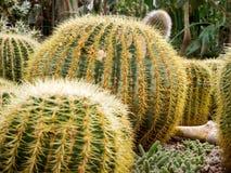 Echinopsis formosa kaktus royaltyfri foto