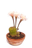 Echinopsis in full flower Royalty Free Stock Photos