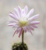 echinopsis kaktusowy kwiat zdjęcia royalty free