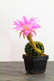 Echinopsis Stock Photos