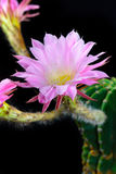 Echinopsis Stock Photography
