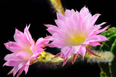 Echinopsis Royalty Free Stock Photography