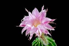Echinopsis maravilloso imágenes de archivo libres de regalías