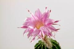 Echinopsis maravilloso imagen de archivo