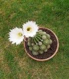 Echinopsis-oxygona Anlage mit zwei Blumen Lizenzfreie Stockfotos