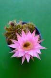Echinopsis Oxygona en flor Fotografía de archivo libre de regalías