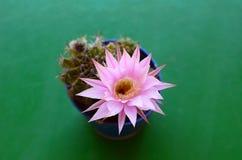 Echinopsis Oxygona en flor Imágenes de archivo libres de regalías