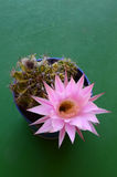 Echinopsis Oxygona na flor Fotos de Stock Royalty Free