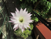 Echinopsis-subdenudata Lizenzfreie Stockfotografie
