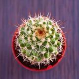 Echinopsis subdenudata Stock Image