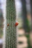 Echinopsis tubiflora zdjęcie stock