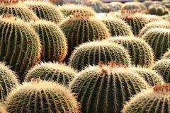 Echinopsis tubiflora ( ball cactus ) royalty free stock photography
