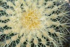 Echinopsis tubiflora Royalty Free Stock Photo